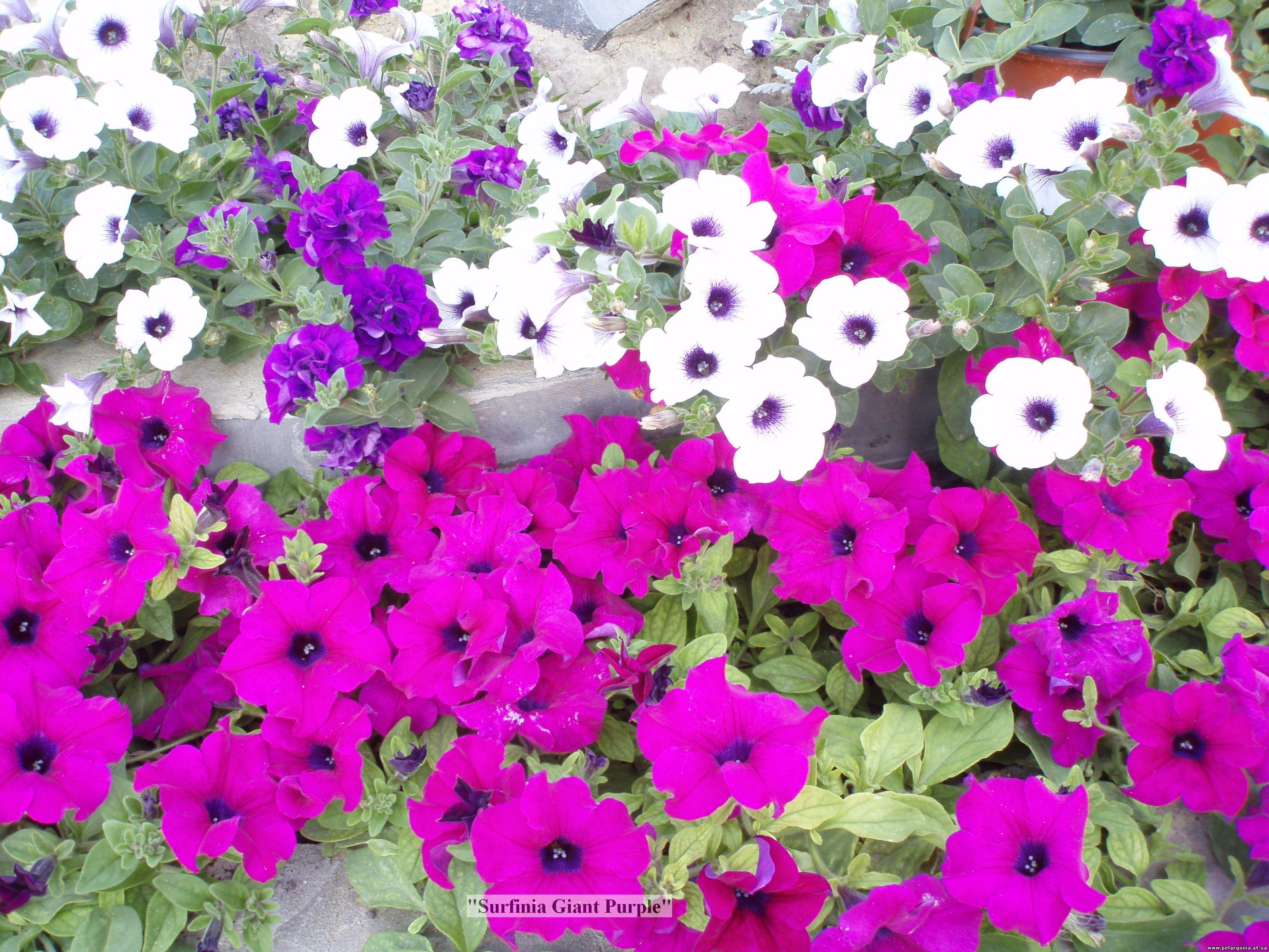 Где купить цветы питунья белые розы в подарок мужчине значение
